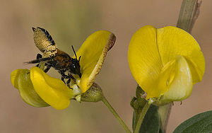 Megachilidae - A leaf-cutter bee showing abdominal scopa