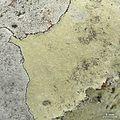 Lecanora sulphurescens - Flickr - pellaea (1).jpg