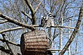 Lemur-Zoo Erfurt.jpg