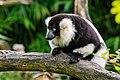 Lemur (24676982008).jpg