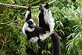 Lemur (26080757978).jpg