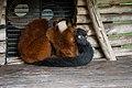 Lemur (36568692686).jpg