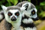 Lemurs - Cotswold Wildlife Park (29147193641).jpg