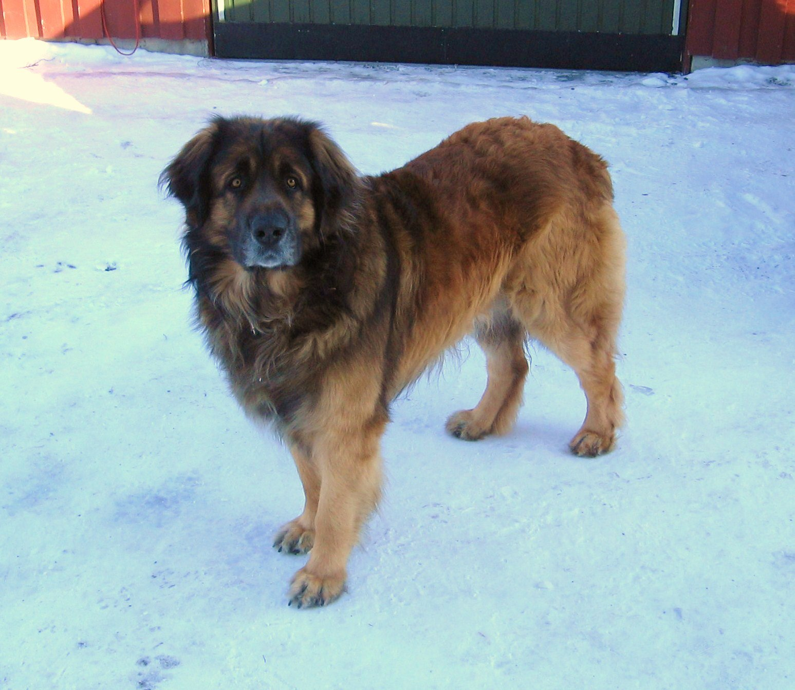 Leonberger - The complete information and online sale with