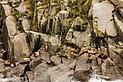 Leones marinos de Steller (Eumetopias jubatus), Bahía de la Resurección, Seward, Alaska, Estados Unidos, 2017-08-21, DD 24.jpg