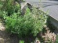 Leonurus japonicus plant1 (14446465587).jpg