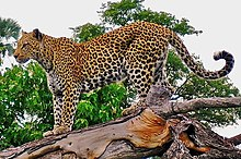 Leopard on a horizontal tree trunk.jpg