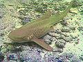 Leopard shark.jpg