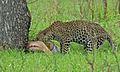 Leopard with kill (Panthera pardus) (5984422591).jpg