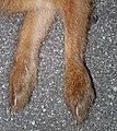 Lepus brachyurus (front paws).jpg