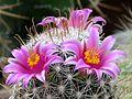 Les belles fleurs - panoramio - youssef alam (14).jpg