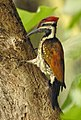 Lesser Flameback woodpecker 6 (Dinopium benghalense)നാട്ടു മരംകൊത്തി .jpg