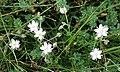 Lesser Sea-spurrey (Spergularia marina) - geograph.org.uk - 215994.jpg
