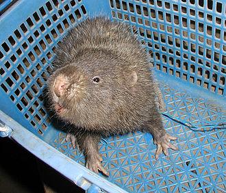 Spalacidae - Lesser bamboo rat, Cannomys badius