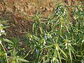 Leucas lavandulifolia Sm. (8581387483).jpg