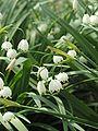 Leucojum aestivum (Summer Snowflake) - Cylburn Arboretum.jpg