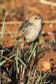 Levaillant's Cisticola, Cisticola tinniens at Suikerbosrand Nature Reserve, Gauteng, South Africa (14982696377).jpg