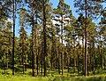 Lieberoser Heide Byhlen Pinus sylvestris 08.JPG