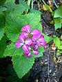 Ligularia Makrophylla 2007-06-02 (flower).jpg