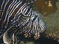 Likely Common Lionfish.jpg