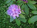 Lilac Rhododendron (8202217247).jpg