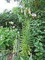 Lilium cf. ledebourei - Flickr - peganum (7).jpg