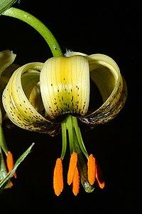 Lilium ciliatum (2)