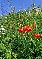 Lilium pumilum (Liliaceae) and Clematis hexapetala (Ranunculaceae) (34988582453).jpg