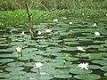 Lily - panoramio (1).jpg
