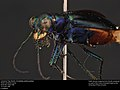 Limestone Tiger Beetle; Cicindela politulat (37323233960).jpg