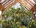 Limonaia in Tower Hill Botanical Garden.jpg