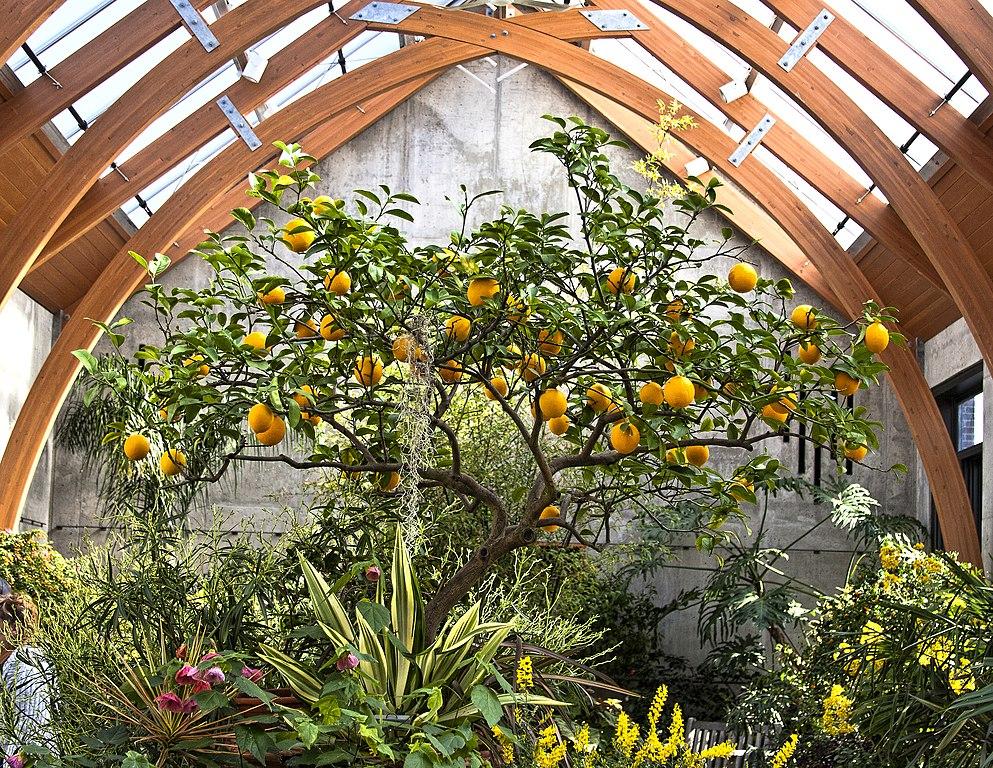 File:Limonaia in Tower Hill Botanical Garden.jpg - Wikimedia Commons