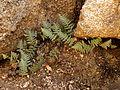 Lip Fern - Flickr - treegrow (1).jpg