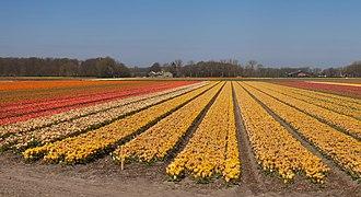 Lisse, veld met tulpen tussen de Zwartelaan en de Lisserbeek IMG 8965 2021-04-27 11.35.jpg