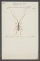Lissozodes - Print - Iconographia Zoologica - Special Collections University of Amsterdam - UBAINV0274 033 21 0007.tif