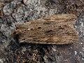 Lithophane socia - Pale pinion - Коровая совка жёлто-бурая (41130144791).jpg