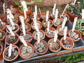 Lithops collection - Lyman Plant House, Smith College - DSC04311.JPG