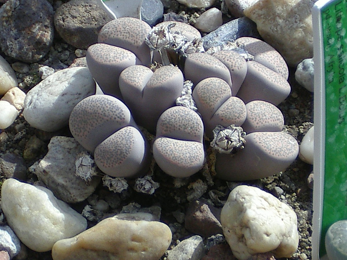 Lithops localis wikipedia for Rocks and soil wikipedia