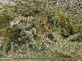 Little Bunting (Emberiza pusilla) (38929269414).jpg