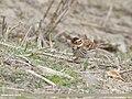 Little Bunting (Emberiza pusilla) (48332351152).jpg