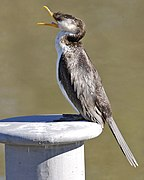 Little Pied Cormorant (Phalacrocorax melanoleucos) - Flickr - Lip Kee (3).jpg