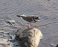 Little Ringed Plover Oulu 20100513c.JPG