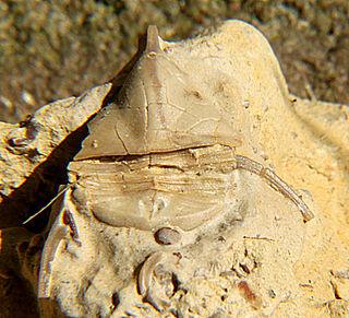 <i>Lonchodomas</i> Extinct genus of trilobites