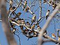 Lonchura castaneothorax -near Mareeba, Queensland, Australia -flock-8 (2).jpg