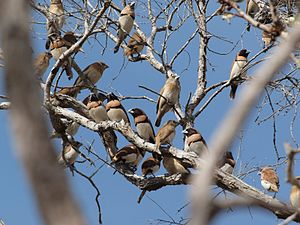 Chestnut-breasted mannikin - A flock in Queensland in July