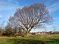 Longton Tree - geograph.org.uk - 358875.jpg