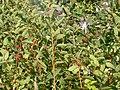 Lonicera tatarica branches (3621857253).jpg