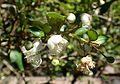 Luma apiculata kz4.jpg