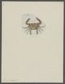 Lupea hastata - - Print - Iconographia Zoologica - Special Collections University of Amsterdam - UBAINV0274 094 20 0007.tif