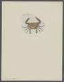 Lupea hastata - - Print - Iconographia Zoologica - Special Collections University of Amsterdam - UBAINV0274 094 20 0007.tif